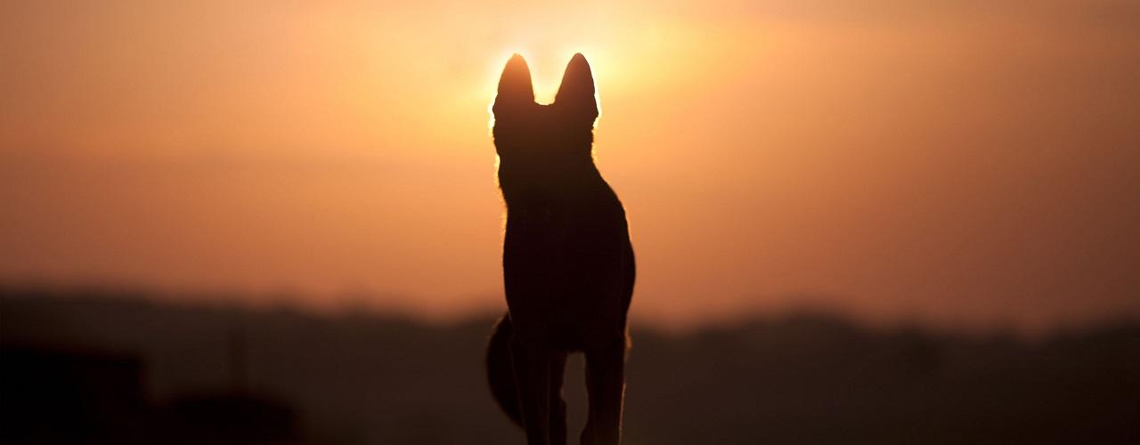 Hund steht im Sonnenuntergang