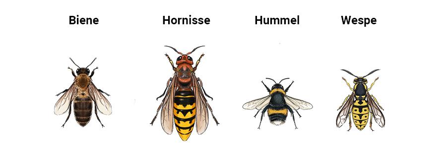 Gegenüberstellung von Biene, Hornisse, Hummel und Wespe