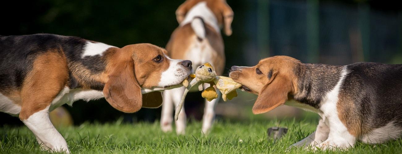 Spielende Beagles