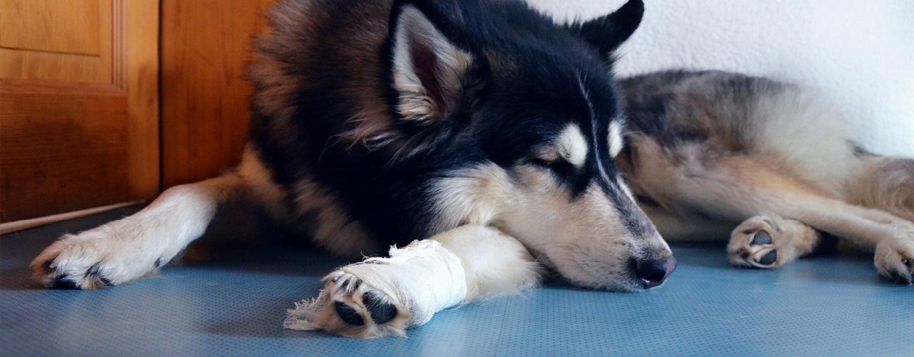 Hund mit einer verletzten Pfote liegt auf dem Boden