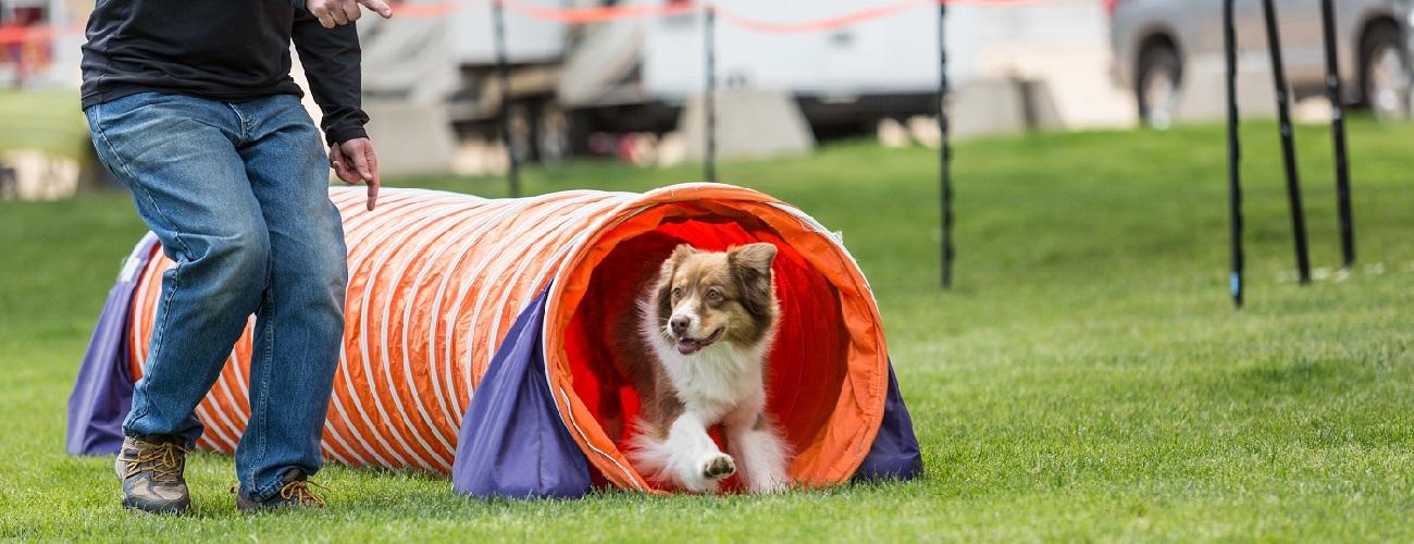 Agility - Hund läuft durch einen Tunnel - Herrchen daneben her