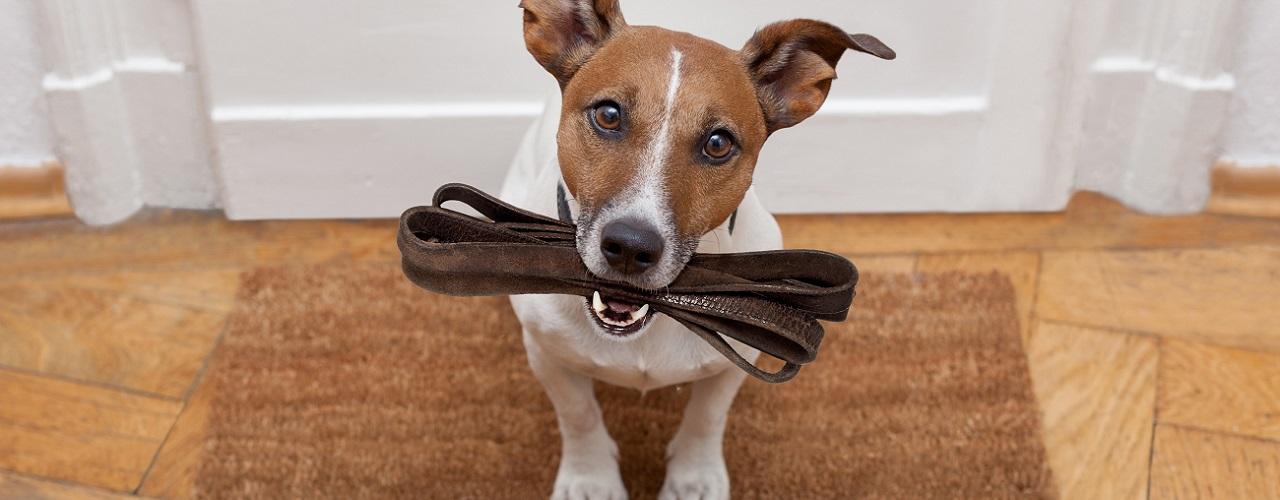 Hund mit Leine im Maul, bittet um Spaziergang