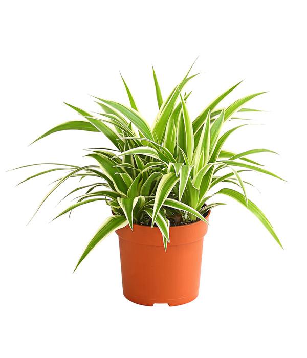 gruenlilie
