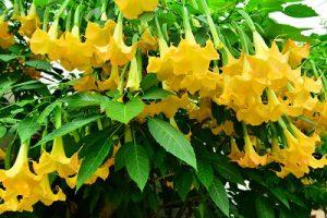 Giftige Pflanze Engelstrompete