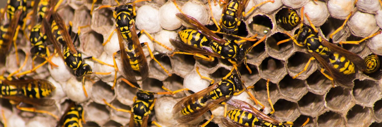Wespen in ihrem Nest