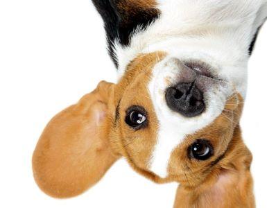 IDEAL Hundehaftpflicht: Beagle auf dem Kopf
