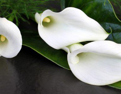 Weiße Calla Blueten